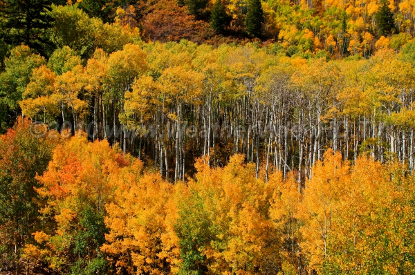 Mellow Yellow Aspen on a hillside on a fall afternoon