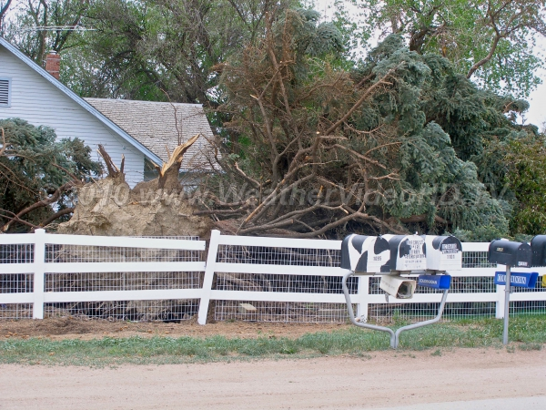 Tree Down Large tree uprooted on periphery of tornado circulation