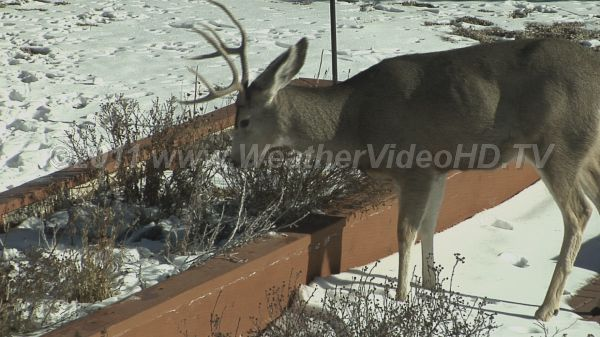 Salad Bar A suburban garden bed provides a modest meal for a starving mule deer buck
