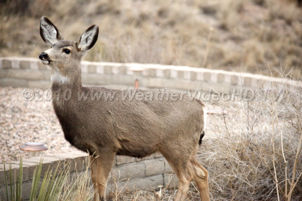 Hungry Deer Lack of food in later winter drive deer towards human habitations in hopes of finding a meal