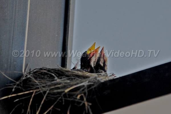 Spring Song Baby birds in a nest tucked onto a window sill