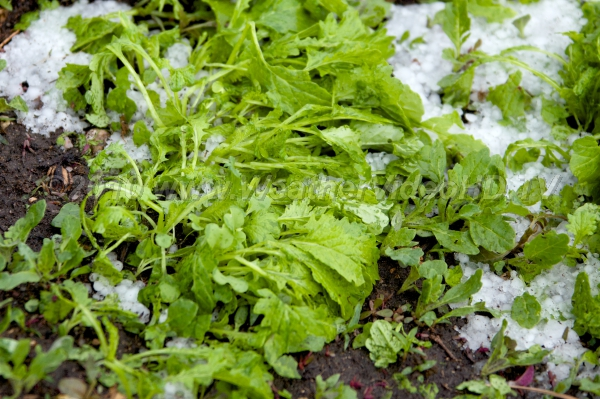 Hail Damage This salad crop is flattened by a brief burst of small hail in a summer storm