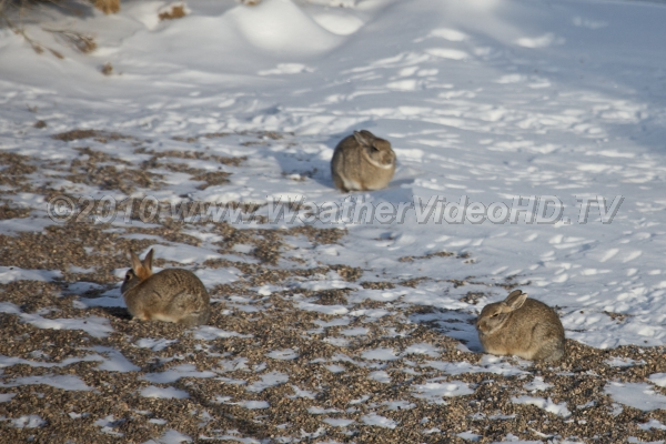 Snow Bunnies Rabbits trying to soak up a little heat from the winter sunshine